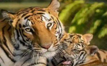 तुम्हाला घरात वाघ पाळायचाय, कायदेशीर अटी पूर्ण करण्याची गरज